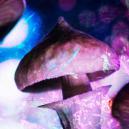Tolérance et champignons magiques : tout savoir
